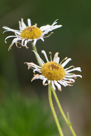 kings canyon national park: Wilting Daisies in Kings Canyon National Park