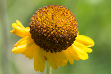 Sneezeweed in Kings Canyon National Park in the Sierras