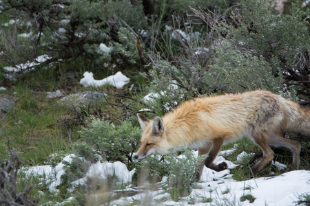 Red Fox Hunting in Yellowstone National Park Stock Photo