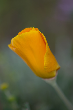 pacific crest trail: California Poppy growing along the Pacific Crest Trail in San Diego county