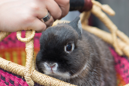 A grey dwarf bunny rabbit in a colorful handmade African market basket (pink, orange, yellow, purple), held by a white womans hand with a ring.
