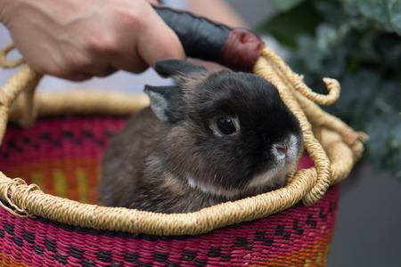 A grey dwarf bunny rabbit in a colorful (pink, orange, yellow, purple) handmade African market basket.