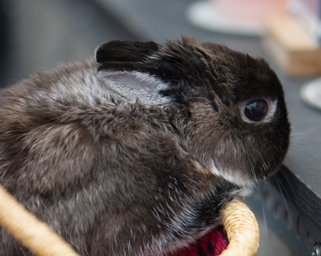 A grey dwarf bunny rabbit in a handmade African market basket.