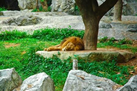 lion sleep in the zoo photo