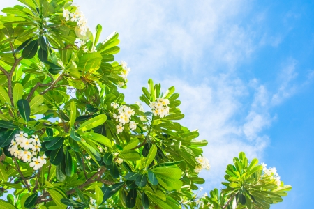 templetree and white flower on blue sky backgrounds photo