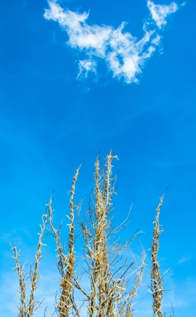 old yellow branch on blue sky backgrounds