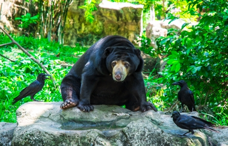 forest management: single black bear and crow on nature backgrounds