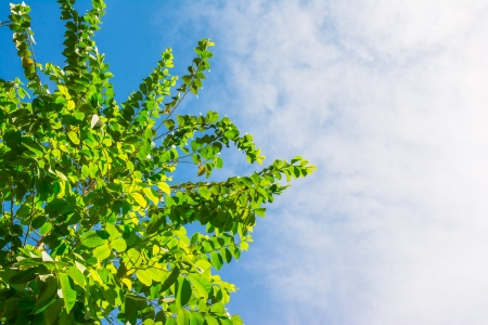 scots: green of tree and nature at blue sky and cloudy