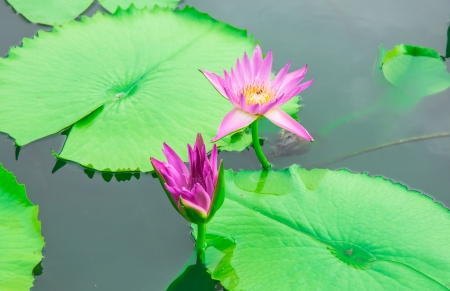 pink flower lotus and leaf on canal of asia photo