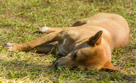 single Thai dog sleeping on green grass field at outdoor sunshade photo