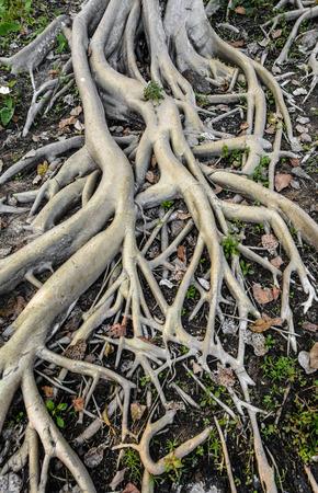 lot of root of high tree at outdoor natural sunshade Stock Photo - 26112511
