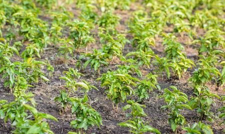 crecimiento planta: gran cantidad de poco crecimiento de las plantas verdes para la granja en jard�n natural de tierra