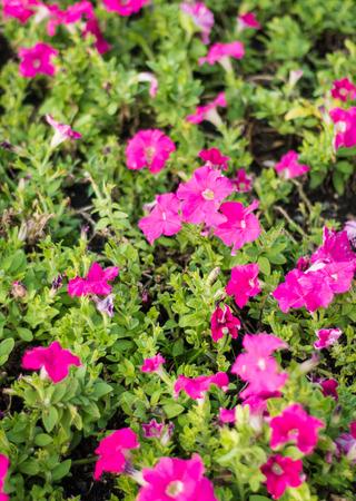 mirabilis: lot of Mirabilis jalapa flower at summer outdoor on natural garden Stock Photo