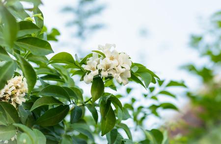jessamine: lotto di Orange Jessamine fiore fiore naturale all'aperto