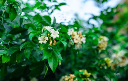 jessamine: lot of Orange Jessamine bloom flower on outdoor natural