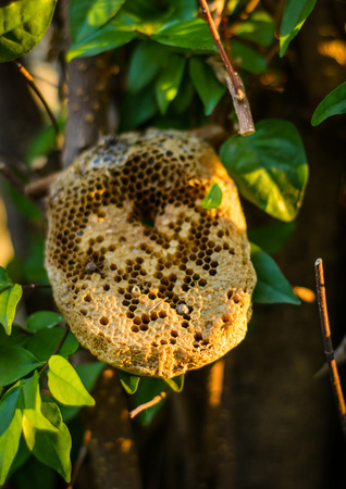 close up beehive honeycomb on the tree at outdoot summer natural photo
