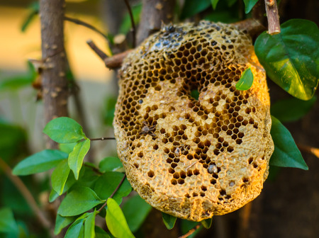 beehive honeycomb on the tree at outdoot summer natural Standard-Bild