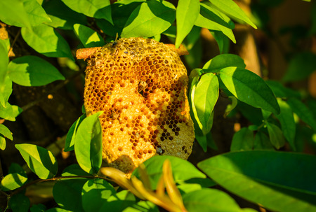 beehive honeycomb on the tree at outdoot summer natural photo