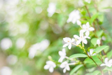 lot of white gardenia flower on tree outdoor as background photo