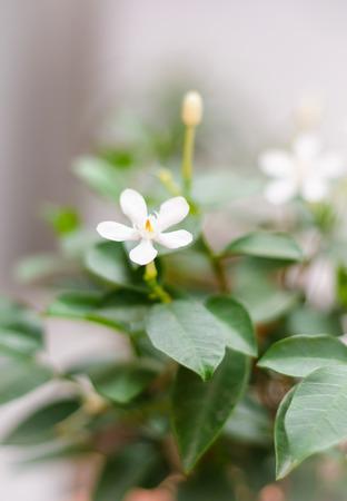 white gardenia flower on tree outdoor as background photo