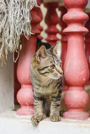 Homeless stray thai cat on old concrete the balcony photo