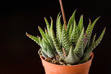 cactus flower: close up of small Succulent plant with flowerpot Stock Photo