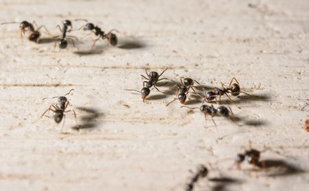makro wiele czarnych mrówek na drewnie