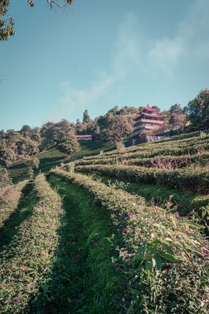 tea filter: mountain hill and natural tea farm with retro filter Stock Photo
