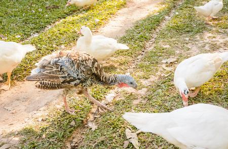 quack: animal ducks in a row. white ducks on the wild grass Stock Photo