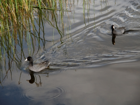 trailblazer: Lesser scaup duck blazing ahead of its peer