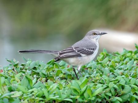 ruiseñor: Mockingbird norteño en un arbusto en Florida