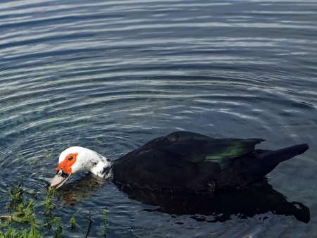 muscovy duck: Muscovy duck eating in a lake