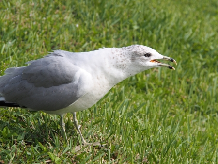 billed: Ring Billed Gull calling out Stock Photo