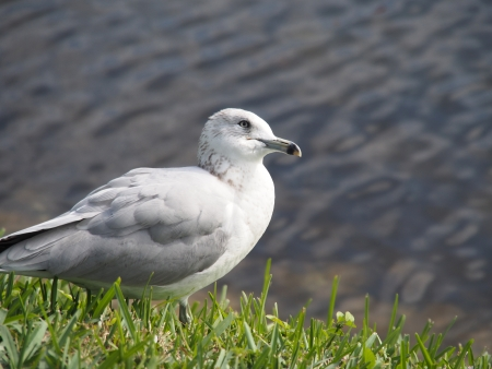 head tilted: Ring Billed Gull with its head tilted to the side in a listening pose. Stock Photo