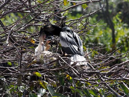 Mujer Anhinga alimentar a sus pequeños en el nido. Foto de archivo - 26275118