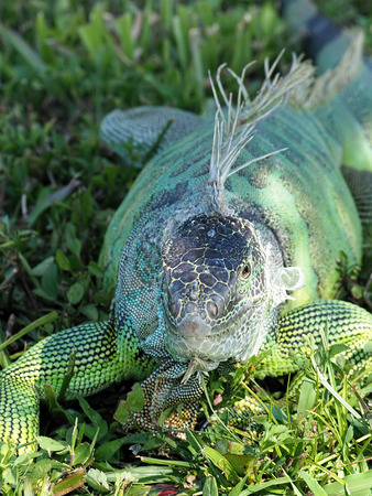 molting: Green Iguana with peeling skin molting in grass