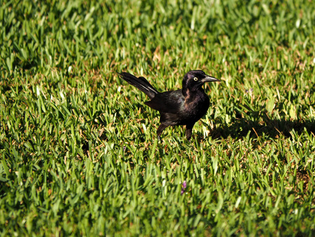 irridescent: Irridescent Common Grackle in grass