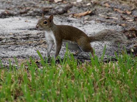 carolinensis: Alert Eastern Grey Squirrel on the ground Stock Photo