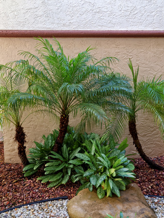 pepples: Small Palm Trees in rock garden with foliage brown rocks and white rocks Stock Photo