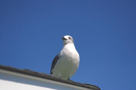 seagull 版權商用圖片