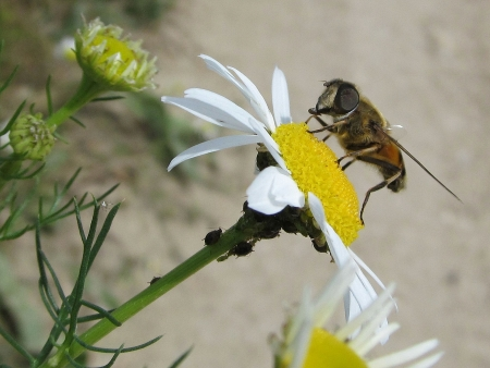 Bee on the chamomile with aphids photo
