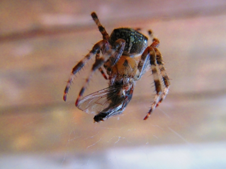 impregnated: Spider eating fly an web, the first to be impregnated acid and then suck