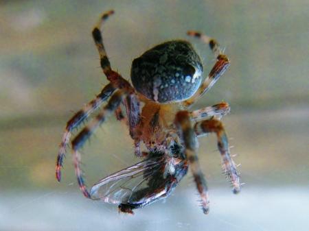 impregnated: Ragno mangia mosca, il primo ad essere impregnato di acido e poi succhiare