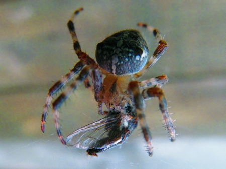impregnated: Spider eating fly, the first to be impregnated acid and then suck Stock Photo