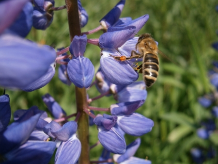 gatherer: A bee pollinating a flower Stock Photo