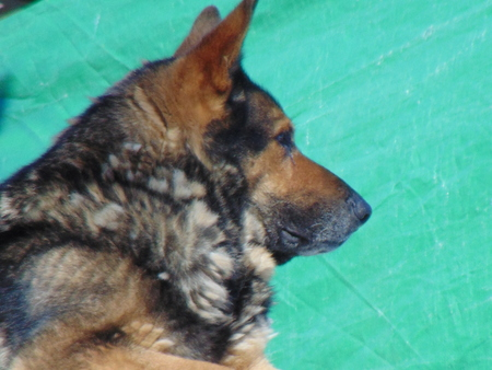 guard house: Alsatian guard house, perfect breed dog, I\