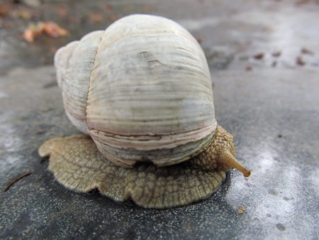 mollusk: Snail gourmet food with a beautiful mollusk shell Stock Photo