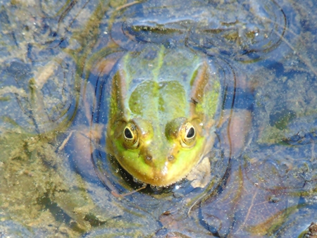 wetness: Frog Algae