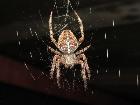 spiderweb: Spider Crusader he spiderweb Stock Photo