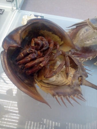 Horseshoe crab - Limulus polyphemus - Xiphosura - blue blood - LAL test